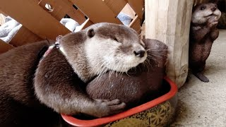 Otter Aty who loves Noro Lodge too much, finally get a site for himself [Otter life Day 271]