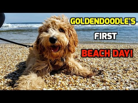 Goldendoodle's First BEACH Day!!