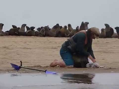 11th October 2015 - Pelican Point Kayaking - seal rescue