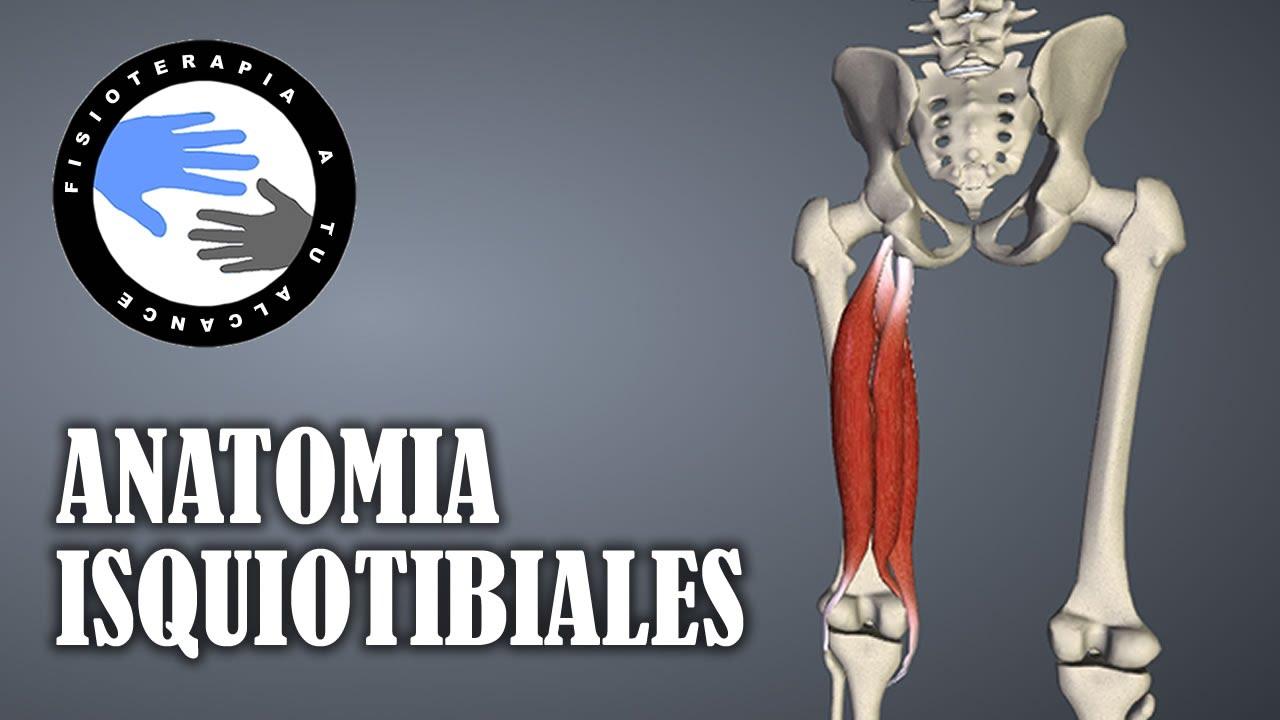 Isquiotibiales, anatomía y curiosidades - YouTube