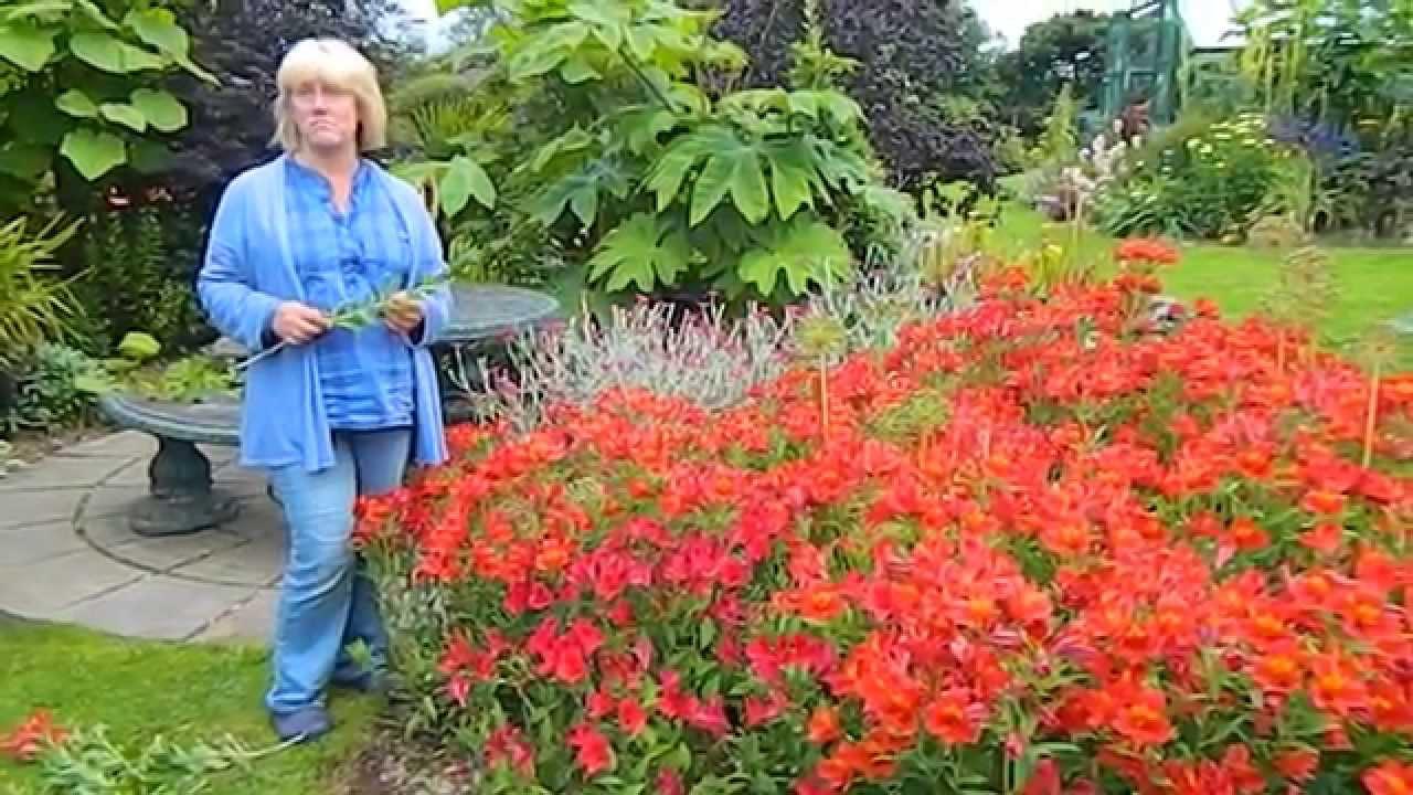How To Deadhead Alstroemeria Peruvian Lily Youtube