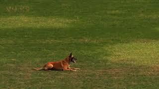 belgian malinois dog,Conan B97 , fci ipo wc 2018