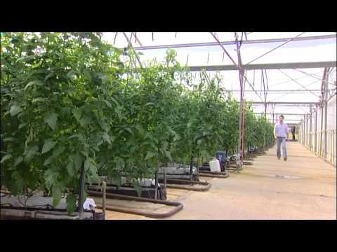 WaterSmart Farms: Hok Lam - Hydroponic truss tomatoes
