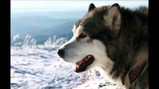 Породы собак. Аляскинский маламут