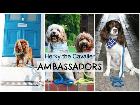 Herky the Cavalier Ambassadors | Cavalier King Charles Spaniel Dogs and Puppies | Dog Accessories
