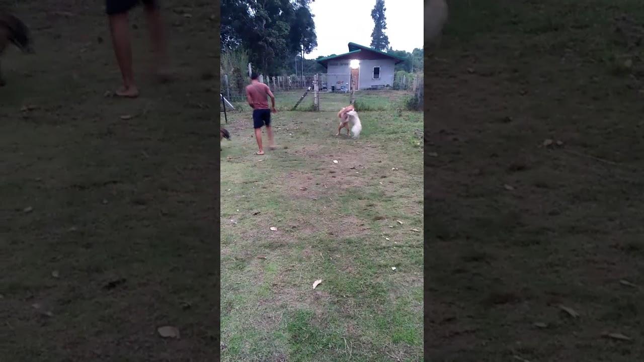 Pitbull and German Shepherd fight thai dog พิทบูล ...
