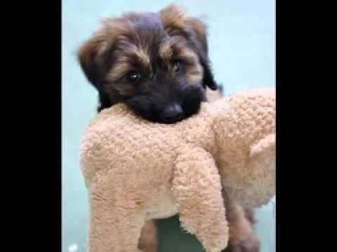 Briard Puppy 9 Weeks Giverny
