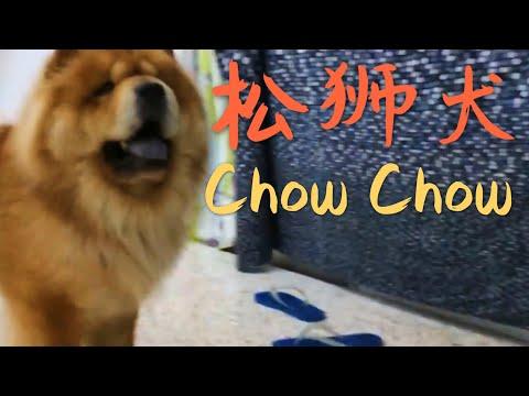 Chow chow~ pow pow