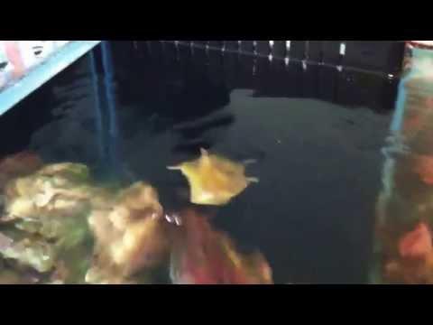 Cowfish Spitting