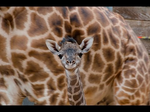 Thumbnail: Baby Giraffe at the Houston Zoo