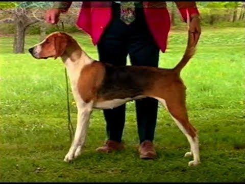 American Foxhound - AKC Dog breed series