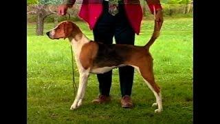 American Foxhound  AKC Dog breed series