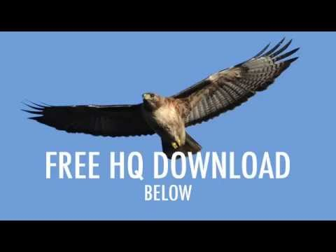 """Eagle"" Red Tailed Hawk Screech (HQ Download)"