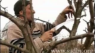 видео обрезка груши весной 3 года