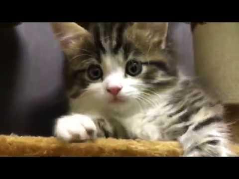 マンチカン#8 リプロさんの顔に大接近猫 子猫