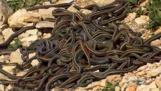 Самые ядовитые змеи мира  Дикая природа  Документальный фильм Discovery