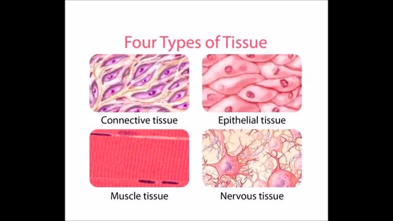 Cc Week 1 Cycle 3, Science, Four Types Of Tissue - Youtube-6614