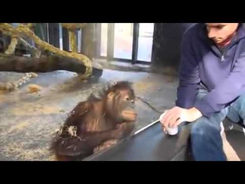 Orangutan finds magic trick hilarious