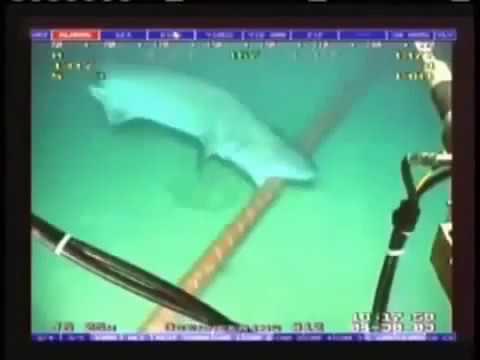 Cận cảnh Cá mập cắn đứt cáp quang biển