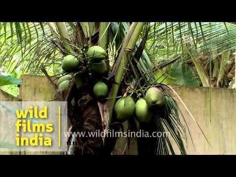 Coconut plantation in Kerala - India