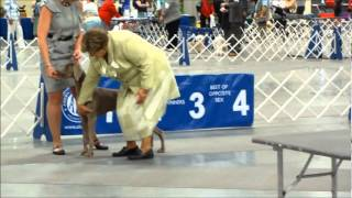 Akc Sporting Group - Weimaraner's Ring Highlights