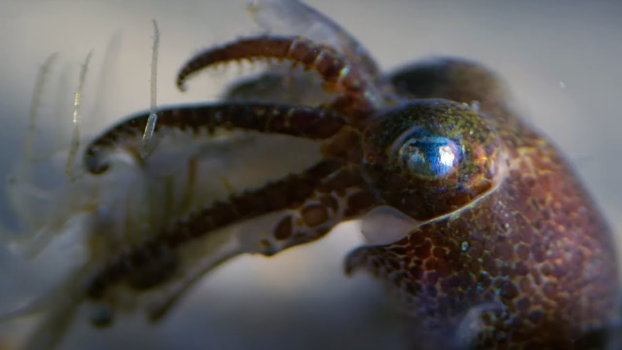 Download Baby Octopuses Hunting | Octopus In My House | BBC Earth