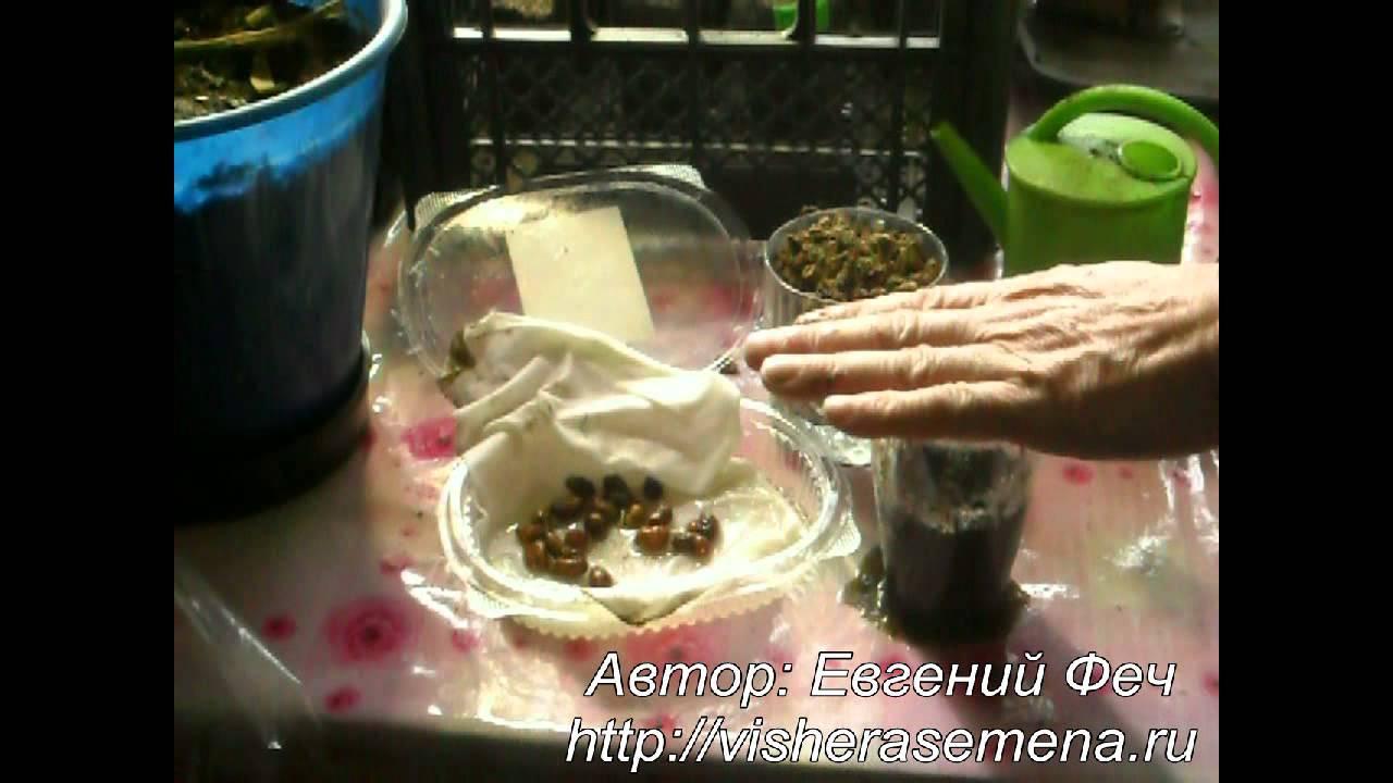 Любые сорта чуфы можно заказать и купить непосредственно на этом сайте. Здесь же нетрудно узнать, что цены на семена вполне приемлемы,