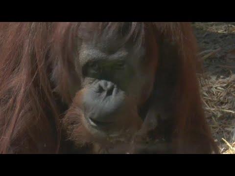 """El viaje a Florida de la orangutana Sandra, la primera """"persona no humana"""""""
