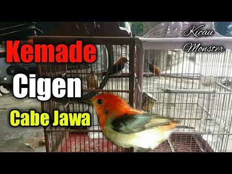 Burung Cabe Jawa   Kemade   Cigen