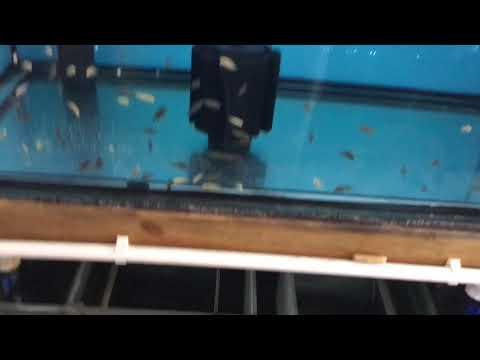 Akvaryum Balıkların Da Su Değişimi (Albino Chimpbi)