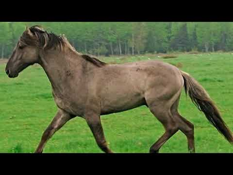 Sorraia Horse - breed info