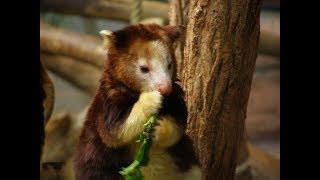 Tree-Kangaroos - An Amazing Forest Animals