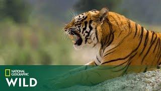 Młody tygrys nie był gotowy bronić swojego terytorium! Pozostała mu ucieczka! [Tygrys w opałach]