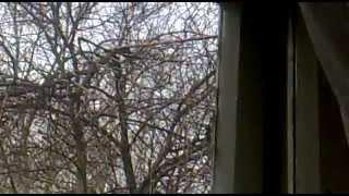 видео Как спилить ветки