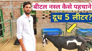 बकरी की टॉप नस्ल बीटल कैसे पहचाने|Beetal Goat Farming- characteristics, Milk, Sale Price