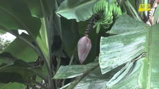 Gwinea cz.3 -  Pyszne owoce