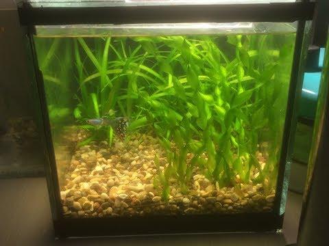 Сифонка дна в аквариуме на 4 литра!