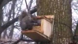 Squirrel Eating Corn At Homemade Feeder