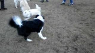 シェットランドシープドッグのイリアちゃんが、子犬スペースのワンコを...