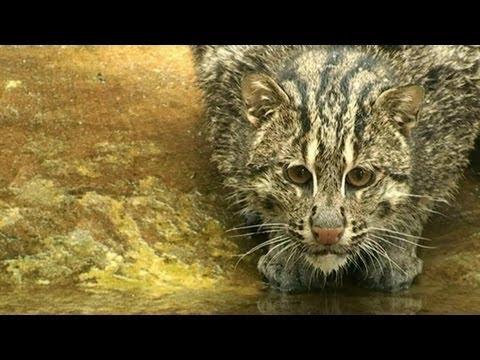 Fishing Cat! Кошка ловит рыбу!