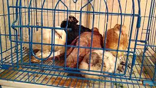 Лекарство от Ньюкасла. Лечение голубей   от Ньюкасла (вертячка), против  всех кишечных болезнь.