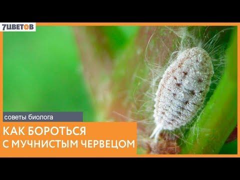 Как бороться с мучнистым червецом | Советы биолога 7ЦВЕТОВ