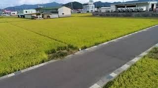 """昨日9/15日""""いちほまれ""""の稲刈り当日!"""
