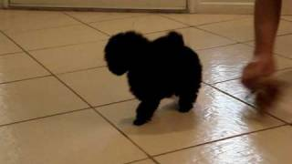 Black Female Toy Poodle Pups