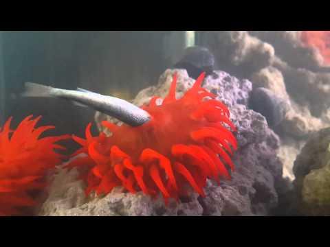 Sea Anemone Eating