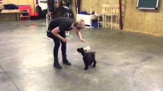 Giant Schnauzer Puppy L1 Early Puppy Obedience Training