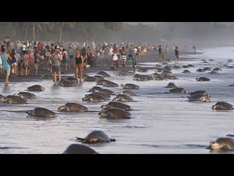 Tourists interrupt turtle reproduction season 'Arribada' in Costa Rica