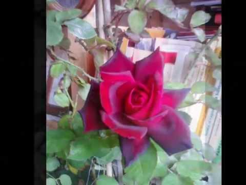 Rosa di Maggio - di - Anna Maria Cherchi - Copyright