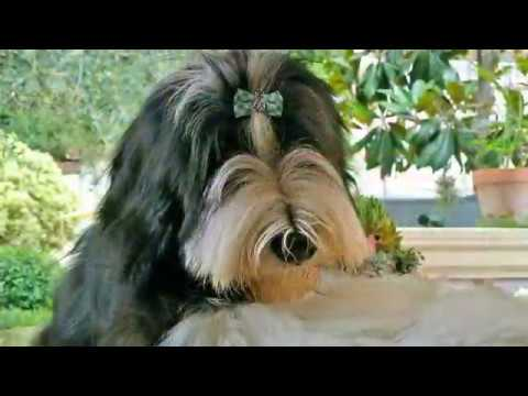bearded collie gremontree - Merry Christmas to you