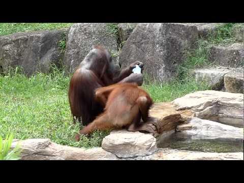 קוף אחרי בנאדם